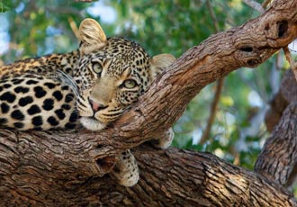 Leopard sighting - something special at Kruger Park