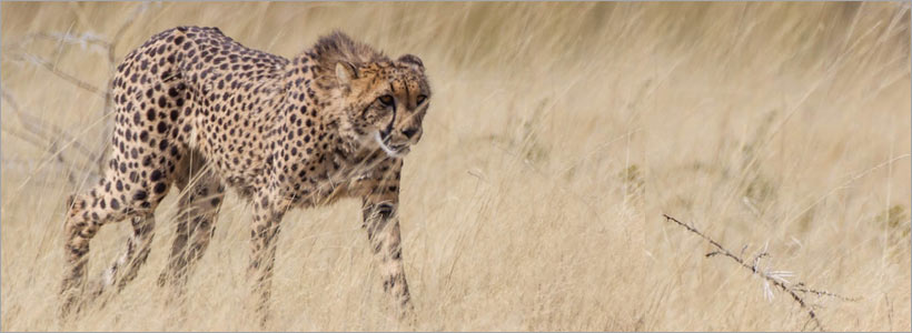 Experience cheetahs in Namibia